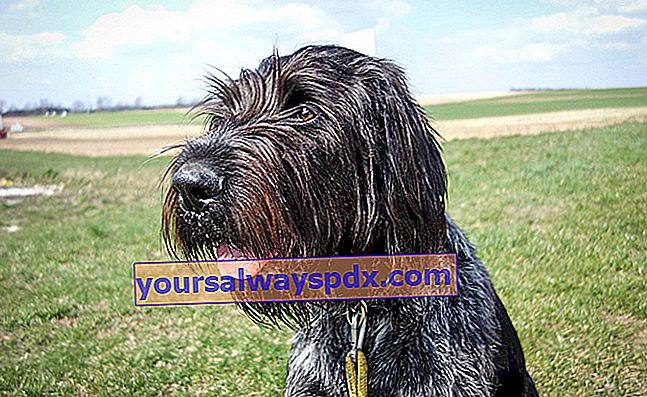 Il Drahthaar o German Wirehaired Pointer