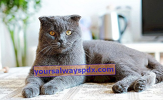 Il British Shorthair