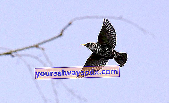 Starling in volo