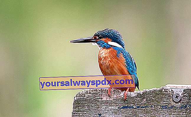 Kingfisher a riposo