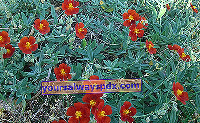 Helianthemum (Helianthemum), פרח גן סלע