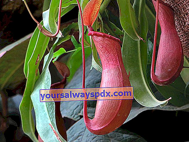 pianta carnivora (Nepenthes)